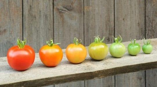 Fila de tomates verdes e vermelhos representando maturidade