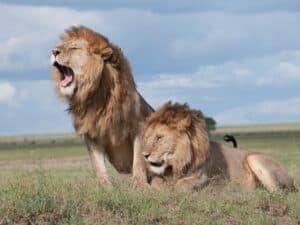 Imagem de dois leões, símbolos do Imposto de Renda, para ilustrar o conteúdo sobre IRRF 2021.
